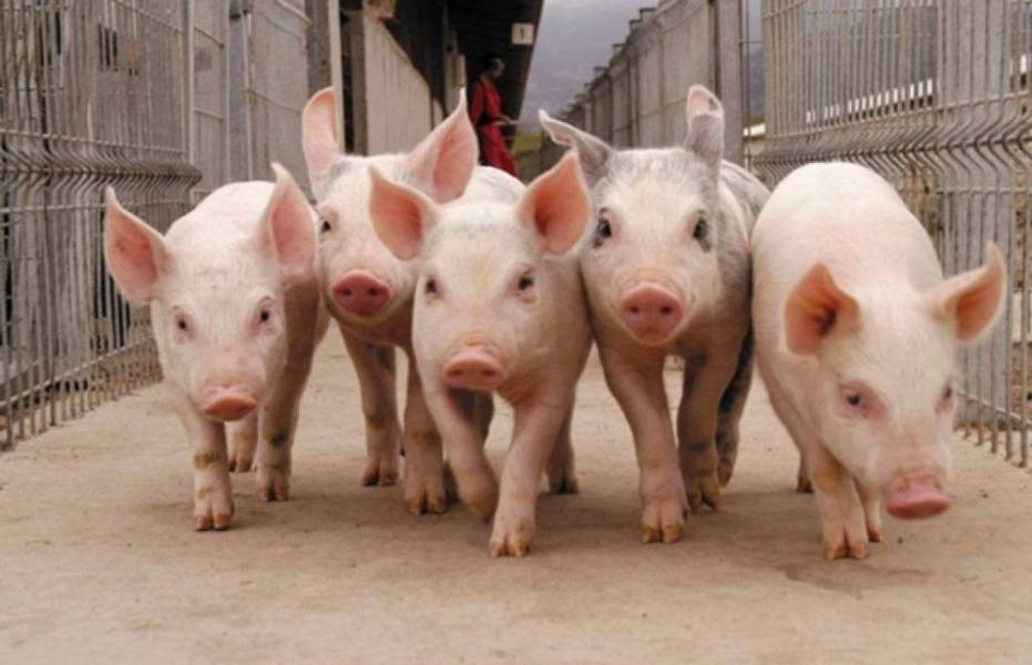 Оцифровка свинарського бізнесу