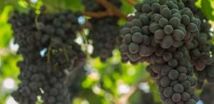 Виноградники: технологии будущего