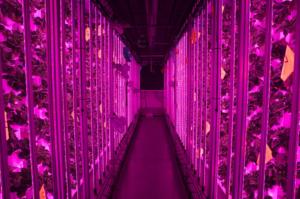 Французький стартап створює вертикальні ферми для вирощування полуниць