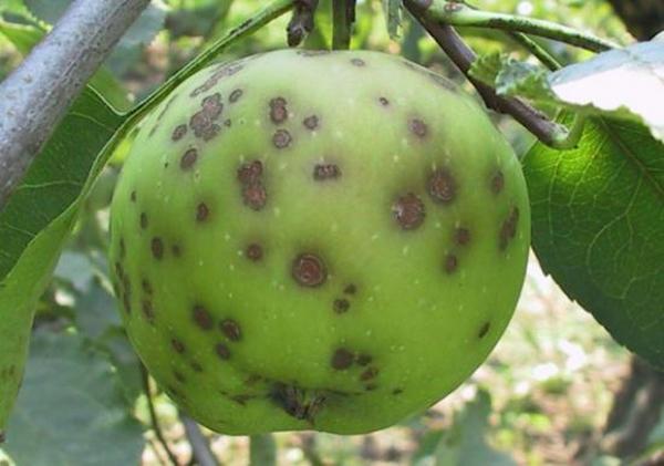 Яблоня не распускает листья