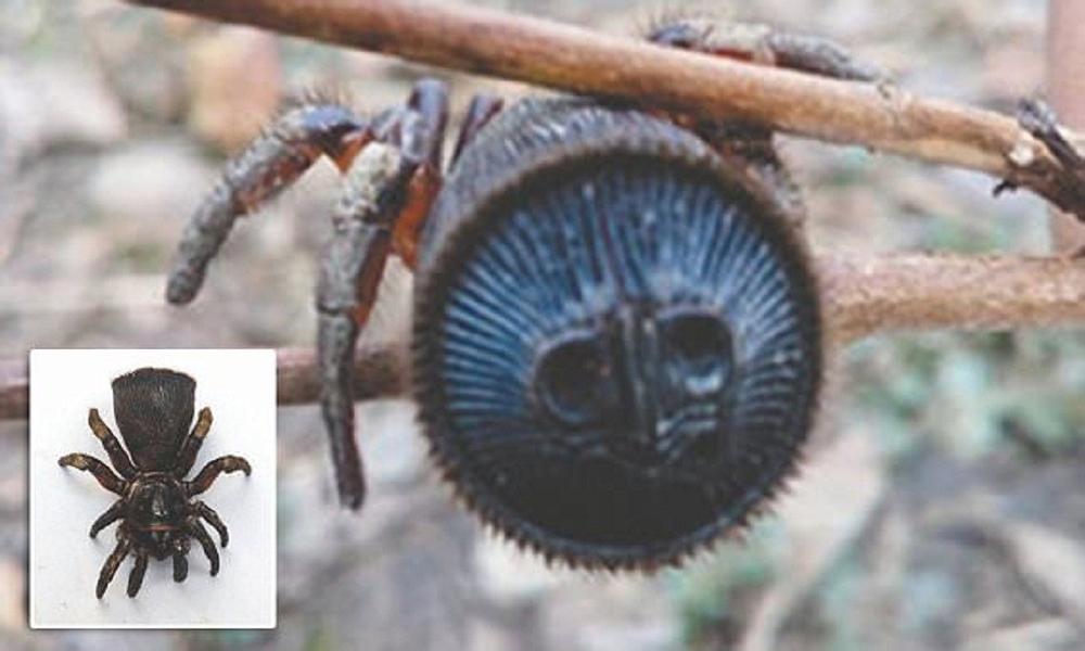 Китайский паук