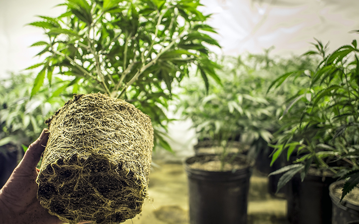 Конопля голландии фото вред марихуаны алкоголь