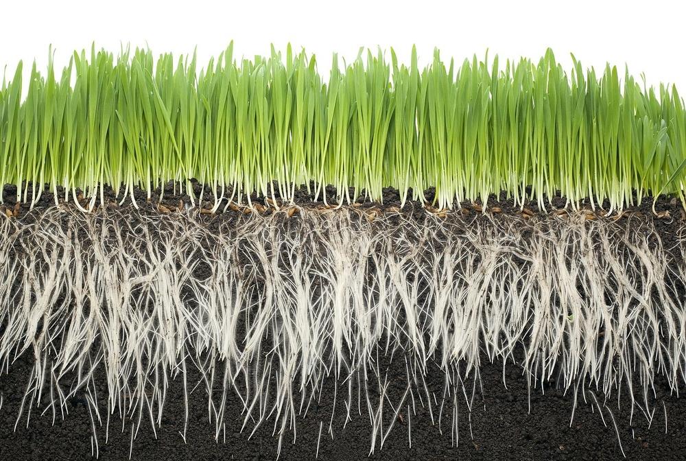 Чтобы вырастить цельные корни